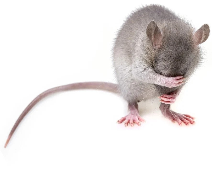 Rodent: Mouse